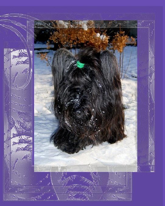 Skye Terrier Andara of Midnight Dreams1